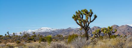 Панорама национального парка дерева Иешуа Стоковая Фотография RF