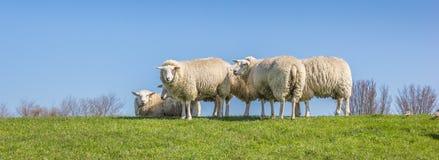 Панорама овец на dike в Нидерландах Стоковая Фотография RF