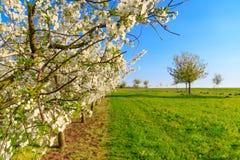 Панорама плантации вишневого дерева белизны зацветая симметричной Стоковое Изображение RF