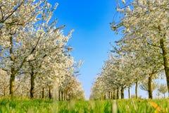 Панорама плантации вишневого дерева белизны зацветая симметричной Стоковые Фото