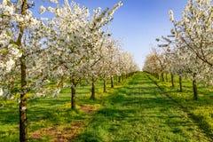 Панорама плантации вишневого дерева белизны зацветая симметричной Стоковые Изображения RF