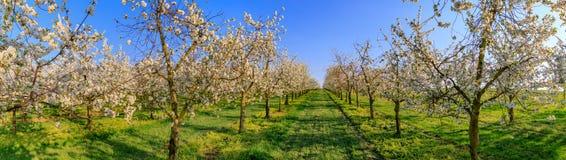 Панорама плантации вишневого дерева белизны зацветая симметричной Стоковые Изображения