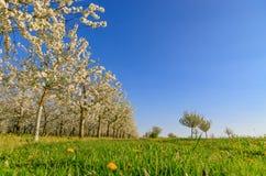 Панорама плантации вишневого дерева белизны зацветая симметричной Стоковая Фотография RF