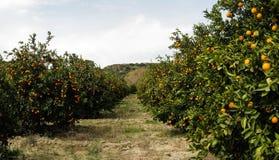 Панорама плантации фермы оранжевого дерева в Турции Стоковая Фотография RF