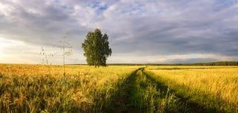 Панорама сельского поля с пшеницей, сиротливой березой и грязной улицей на заходе солнца, Россией Стоковое Фото