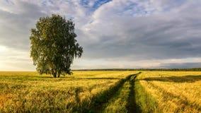 Панорама сельского поля с пшеницей, сиротливой березой и грязной улицей на заходе солнца, Россией Стоковые Изображения RF