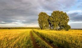 Панорама сельского поля с пшеницей, сиротливой березой и грязной улицей на заходе солнца, Россией Стоковое Изображение