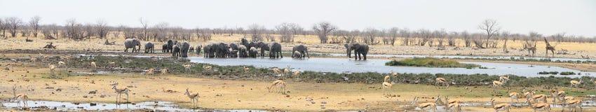 Панорама слонов, giraffes и прыгунов Стоковая Фотография