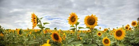 Панорама солнцецвета HDR Стоковое Изображение RF