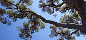 Панорамный взгляд старого дерева сосенки и голубого неба Стоковые Изображения RF