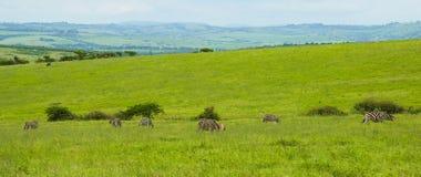 Панорама с зебрами, Южная Африка Стоковые Фотографии RF