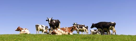 Панорама табуна коровы на луге Стоковое Изображение RF