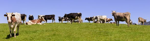 Панорама табуна коровы на луге Стоковое Фото