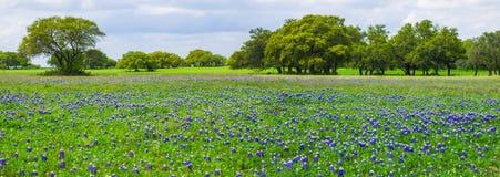 Панорама Bluebonnets Техаса стоковое фото