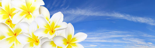 панорама frangipani Стоковая Фотография RF