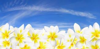 панорама frangipani Стоковое фото RF