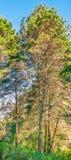 Панорамная сосна Стоковая Фотография