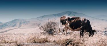 Панорамный взгляд коровы есть траву в выгоне осени в туманном ландшафте в Georgia Стоковое Изображение