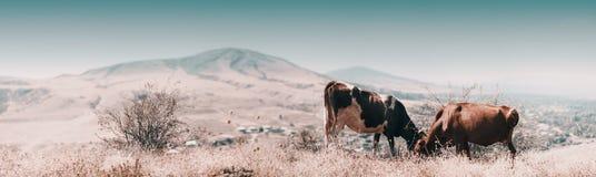 Панорамный взгляд коровы есть траву в выгоне осени в туманном ландшафте в Georgia Стоковые Изображения RF