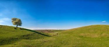 Панорамный взгляд одного blossoming дерева в поле весны Стоковые Изображения RF