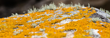 Панорамный взгляд лишайника желтого цвета мустарда установил на серый камень Стоковая Фотография RF
