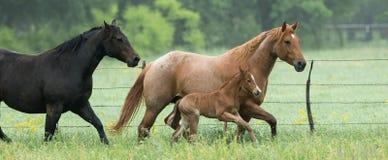 Панорамный идущих лошадей Стоковые Фото