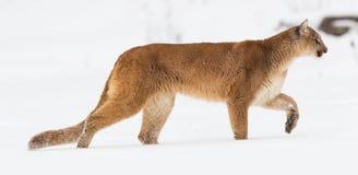 Панорамный портрет льва горы стоковая фотография rf