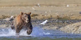 Панорамный фотоснимок рыб бурого медведя поручая Стоковые Изображения RF