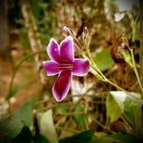 Пансионер цвета и белизны цветка Kudalu фиолетовый Стоковая Фотография RF