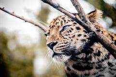 Пантера влюбленности стоковое фото