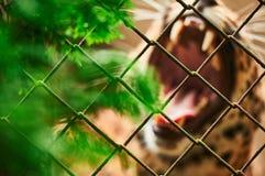 Пантера реветь в клетке Стоковые Фото