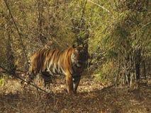Пантера Тигр Тигр тигра - глаза син, запас тигра Bandhavgarh, Madhya Pradesh, Индия стоковые фотографии rf