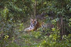Пантера Тигр Тигр тигра Женщина Banbehi, запас тигра Bandhavgarh, Madhya Pradesh, Индия стоковое фото