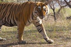 Пантера Тигр Тигр t 28 тигра, запас тигра Ranthambhore, Раджастхан, Индия стоковые фотографии rf
