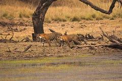 Пантера Тигр Тигр t 19 тигра с новичком, запасом тигра Ranthambhore, Раджастханом, Индией стоковая фотография rf
