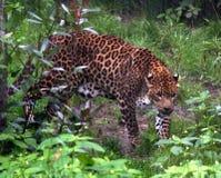 пантера Стоковые Фотографии RF