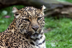 пантера Стоковое Изображение RF