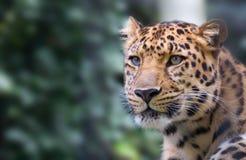 пантера Стоковые Фото