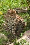 пантера Стоковая Фотография