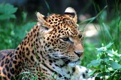 пантера Стоковое Фото