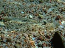 пантера flounder Стоковое Фото