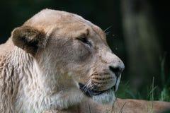 Пантера leo львицы стоковые изображения