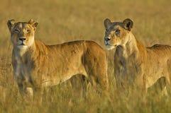 Пантера leo львиц Стоковое Фото