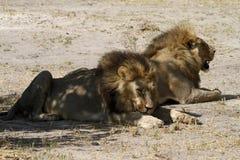 Пантера Leos Стоковая Фотография