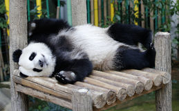 Панда в зоопарке соотечественника Малайзии Стоковые Фотографии RF