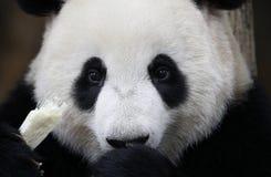 Панда в зоопарке соотечественника Малайзии Стоковое Изображение RF