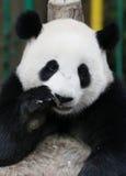 Панда в зоопарке соотечественника Малайзии Стоковое Изображение