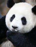 Панда в зоопарке соотечественника Малайзии Стоковые Изображения