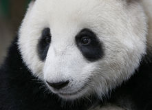 Панда в зоопарке соотечественника Малайзии Стоковые Изображения RF
