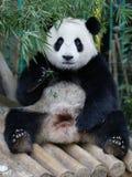 Панда в зоопарке соотечественника Малайзии Стоковое Фото